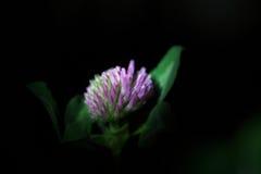 红三叶草,车轴草pratense,在黑背景 库存图片