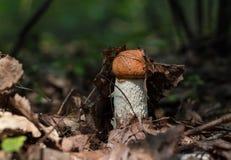 红加盖的scaber茎,橙色盖帽牛肝菌蕈类 库存图片