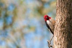 红发啄木鸟 免版税库存图片