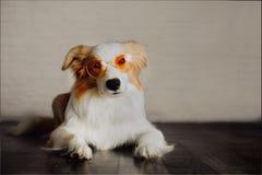 红发大牧羊犬狗佩带的太阳镜的滑稽的狗图片在家 免版税库存照片