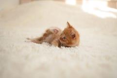 红发小猫(猫咪) 免版税图库摄影
