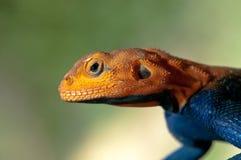 红发岩石蜥蜴关闭 库存照片