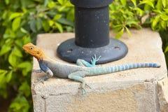 红发岩石蜥蜴在肯尼亚 库存图片