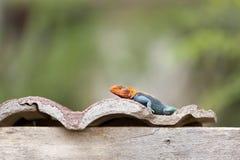 红发岩石蜥蜴在肯尼亚 免版税库存照片