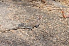 红发岩石蜥蜴 库存图片