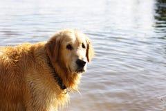 红发狗养殖站立在水中和调查照相机的一只金毛猎犬 库存照片