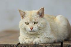 红发猫忧郁 库存照片