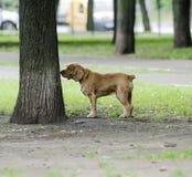 红发西班牙猎狗狗 免版税库存图片