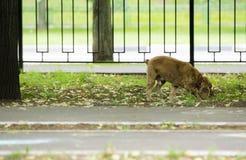 红发西班牙猎狗狗 库存照片