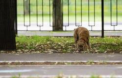 红发西班牙猎狗狗 库存图片