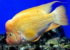 红发1的丽鱼科鱼 库存图片