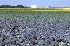 红叶卷心菜领域,供水系统,荷兰 库存图片