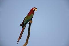 红和绿的金刚鹦鹉, Ara chloropterus 免版税库存照片