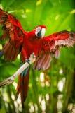 红和绿的金刚鹦鹉 免版税库存照片