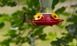 红喉刺莺女性蜂鸟的红宝石 库存图片