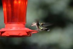 红喉刺莺女性蜂鸟的红宝石 免版税库存图片