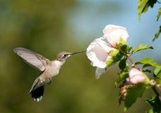 红喉刺莺提供的蜂鸟的红宝石 库存照片