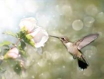 红喉刺莺梦想的蜂鸟图象的红宝石 图库摄影