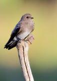 红喉刺莺棕色的马丁 库存照片