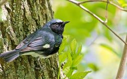 黑红喉刺莺的蓝色鸣鸟 免版税图库摄影