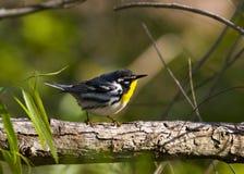 红喉刺莺的鸣鸟黄色 免版税库存图片