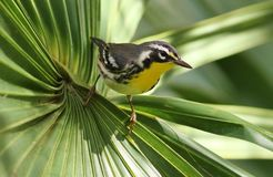 红喉刺莺的鸣鸟黄色 库存照片