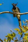 黑红喉刺莺的鹊杰伊 免版税库存图片