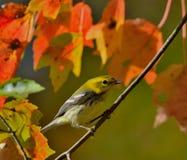 黑红喉刺莺的绿色鸣鸟 免版税图库摄影