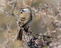 黑红喉刺莺的麻雀在沙漠 免版税库存照片