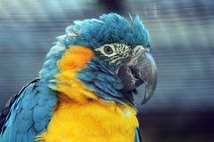 红喉刺莺蓝色的金刚鹦鹉 图库摄影