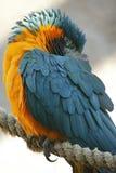 红喉刺莺蓝色的金刚鹦鹉 库存图片