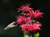 红喉刺莺蜂鸟的红宝石 免版税图库摄影