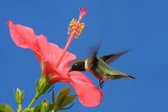 红喉刺莺蜂鸟的红宝石 图库摄影