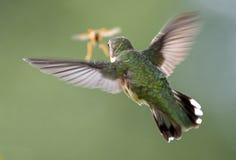 红喉刺莺蜂鸟的红宝石 免版税库存图片