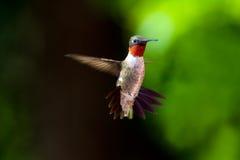 红喉刺莺蜂鸟的红宝石 库存图片