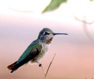 红喉刺莺1个蜂鸟的红宝石 免版税库存图片