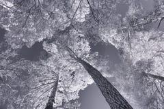 红外图象 冻夏天树 免版税库存照片