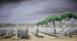 红外土气葡萄园 库存图片