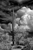 红外柱仙人掌仙人掌地面蛇沙漠亚利桑那 免版税图库摄影