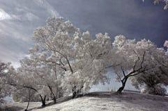红外照片天空结构树 库存图片