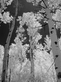 红外的白杨木 免版税图库摄影