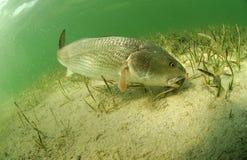 红大马哈鱼在海洋 免版税库存图片