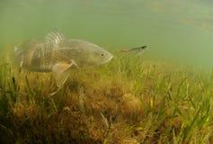 红大马哈鱼在追逐诱剂的海洋 库存图片