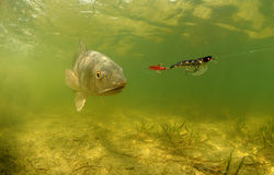 红大马哈鱼水下的追逐的诱剂 免版税库存图片