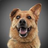 红头发人滑稽的狗- 2018年的标志,非常突出他的舌头和微笑 库存图片