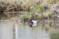 红头发人睡觉在池塘的鸭子雄鸭在乔治亚,美国 免版税库存照片