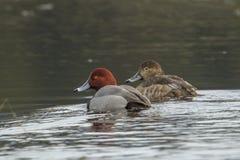 红头发人鸭子夫妇在水中 免版税库存照片