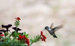 红宝石在R的蜂鸟红色花 库存照片