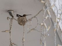 红宝石红喉刺莺的蜂鸟坐她的巢 库存照片