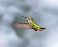 红宝石红喉刺莺的蜂鸟女性 库存图片